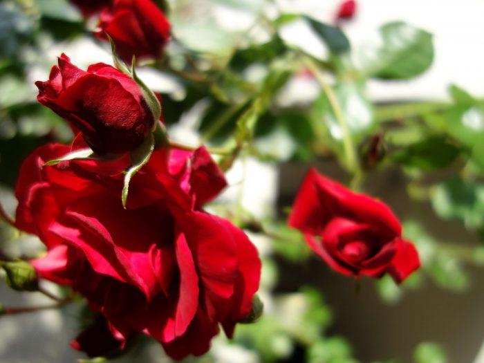 Rose als Bild für Blog 5 Fragen für ein schöneres Leben