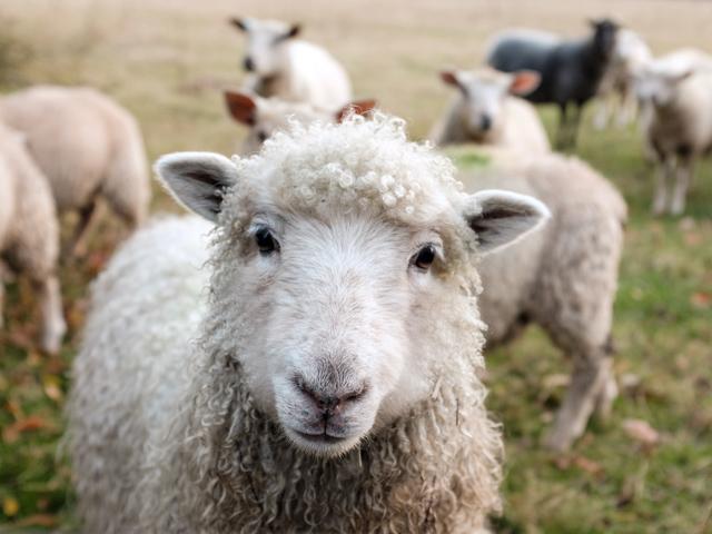 Bild Schaf für Blog 8 Tipps für einen erholsamen Schlaf